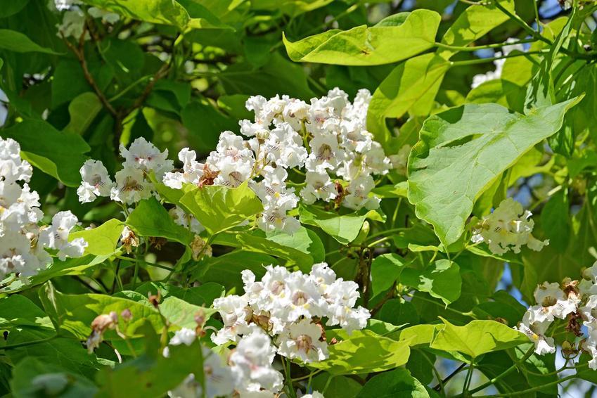 Białe kwiaty catalpa 'Nana' rosnącej w ogrodzie, a także opis odmiany, wymagania, cięcie oraz cena sadzonek