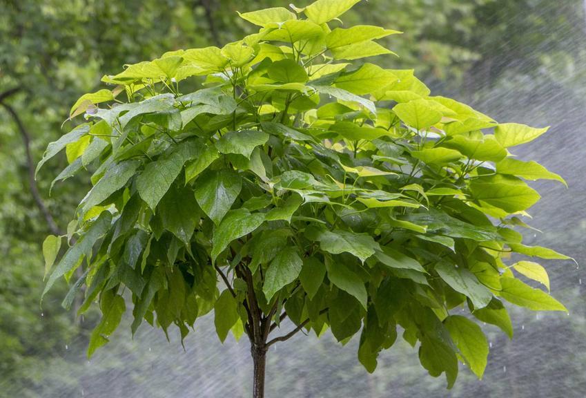 Niewielkie drzewko katalpa na pniu, a także odmiany rośliny, pielęgnacja, uprawa oraz szczepienie na pniu krok po kroku