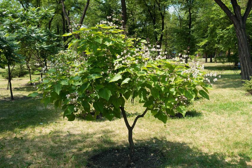 Drzewko surmii bignoniowej 'Nana' rosnące w ogrodzie, czyli informacje o odmianie: jej wymagania, sadzenie, pielęgnacja oraz cięcie