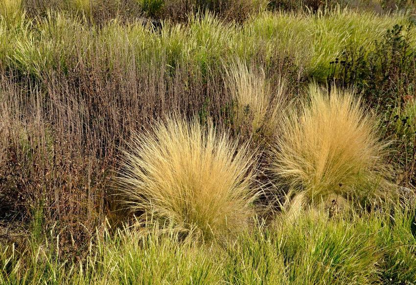 Zżółknięte kępy trawy ozdobnej śmiałek darniowy, a także opis rośliny, sadzenie, pielęgnacja, uprawa i wymagania krok po kroku