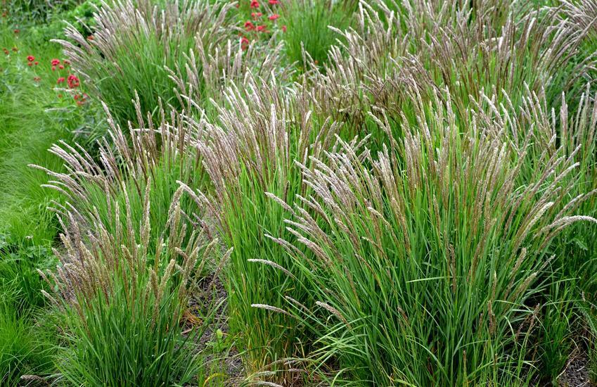 Zielone kępy rośliny śmiałek darniowy w czasie kwitnienia, a także opis, wymagania, uprawa, pielęgnacja oraz sadzenie krok po kroku