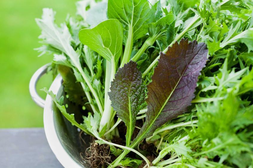 Liście kapusty mizuna w durszlaku, a także opis rośliny, uprawa i pielęgnacja, wykorzystanie w kuchni i właściwości