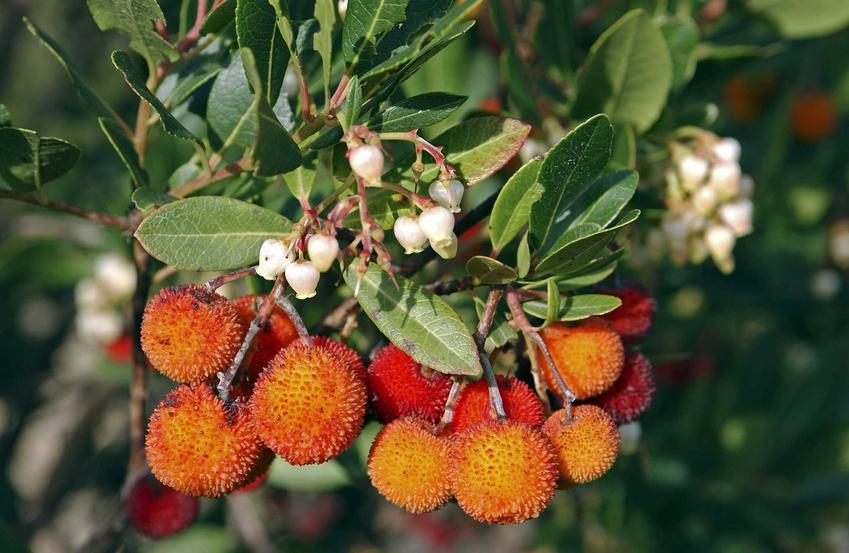 Żółte owoce jagodowe na rośinie chruściana jagodna, a także informacje o gatunku, opis, wymagania, pielęgnacja i uprawa