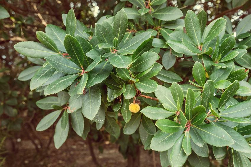 Krzew rośliny chruścina jagodna, a także opis, zastosowanie, wymagania, pielęgnacja oraz sadzenie i uprawa