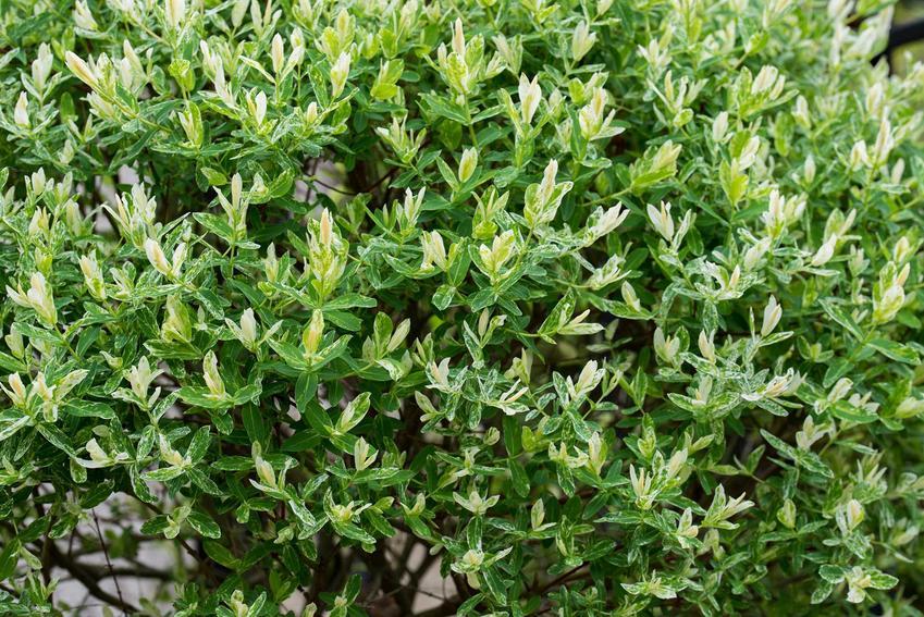 Wierzba całolistna z nowymi przyrostami rosnąca w ogrodzie, a także opis rośliny, jej wymagania siedliskowe, sadzenie, zastosowanie i pielęgnacja