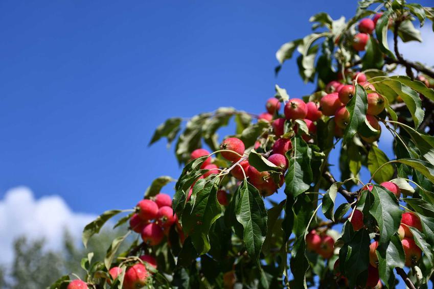 Drobne jabłka jabłoni ozdobnej w ogrodzie, a także opis rośliny, jej uprawa w ogrodzie: wymagania, sadzenie i pielęgnacja