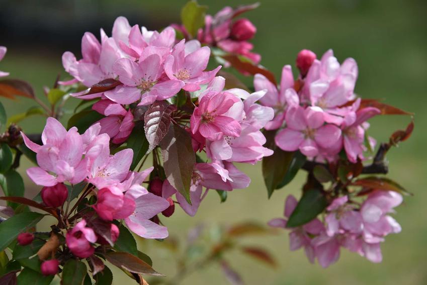 Różowe kwiaty jabłoni ozdobnej w ogrodzie, a także odmiany rośliny, jej opis, uprawa i pielęgnacja oraz wymagania w ogrodzie