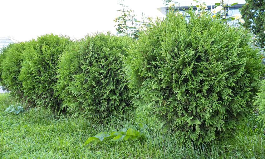 Większe krzewy rośliny tuja Danica, a także sadzenie, formowanie, porady oraz opis sadzonek i gatunku krok po kroku
