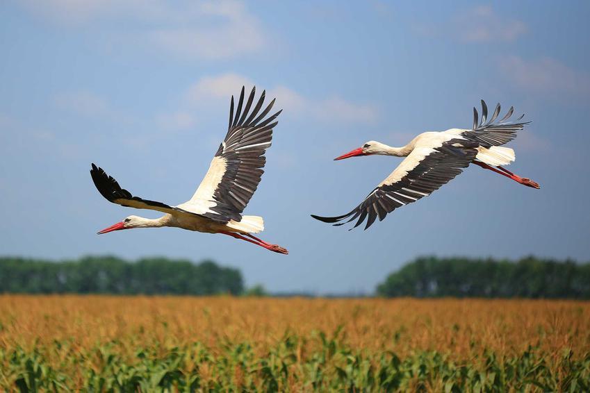 Bociany latajce nad polem, a także jak zwabić wiosną bociany, żeby stworzyły gniazdo u nas na podwórku