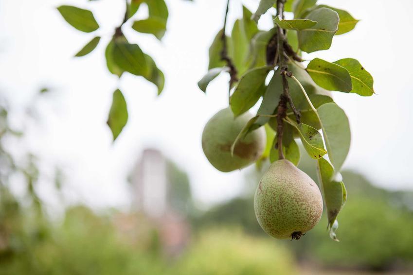 Owoce ulęgałki, czyli dzikiej gruszy, a także opis, uprawa, pielęgnacja, zastosowanie, sadzenie i sadzonki