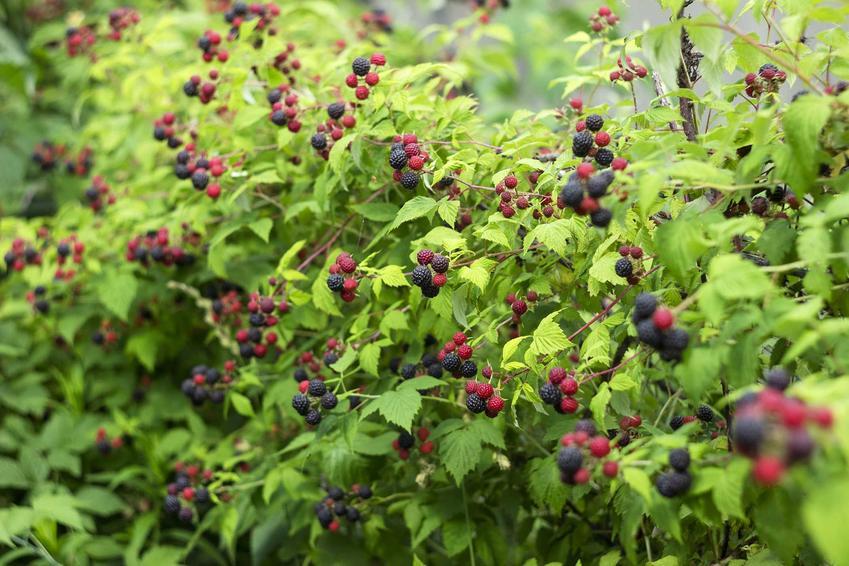 Krzew rośliny czarna malina, a także opis, wymagania, sadzenie, uprawa, pielęgnacja oraz przycinanie krok po kroku