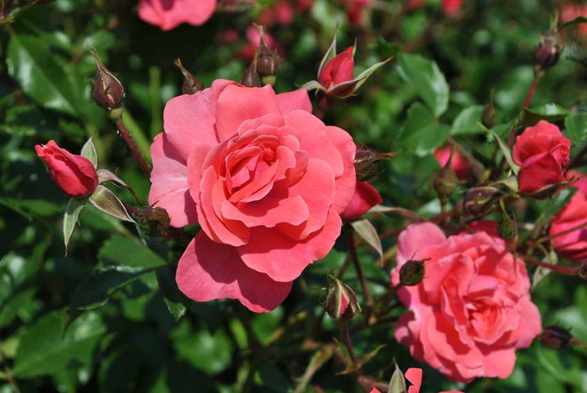 Piękne kwiaty róży parkowej i jej odmiany, a także opis, cena, pielęgnacja, zastosowanie i sadzenie