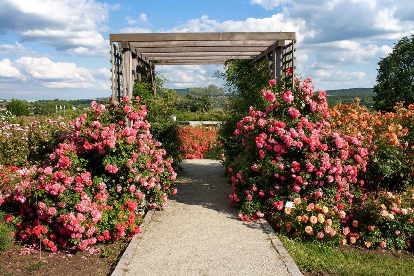 Róże parkowe przy pergoli o różowych kwiatach, a także najpiękniejsze odmiany, pielęgnacja i uprawa oraz ceny sadzonek