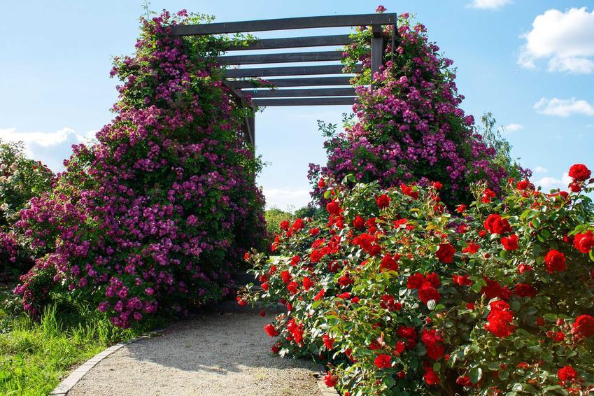 Róże pnące na pergoli, a także TOP 3 najlepsze podpory do róż pnących krok po kroku