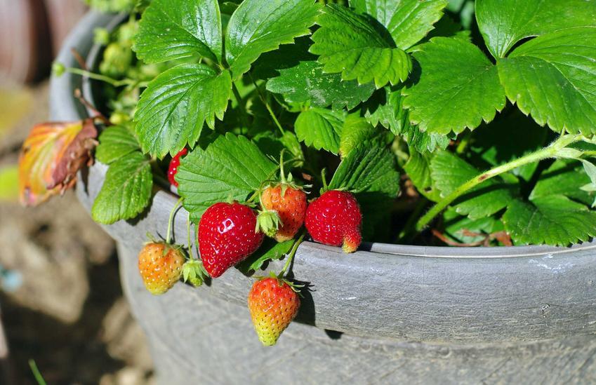 Truskawka Honeoye rosnąca w blaszanej doniczce, a także wymagania rośliny, uprawa, pielęgnacja, zastosowanie i sadzenie