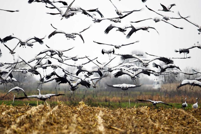 Bociany latające nad polem, a także wiosenne powroty ptaków do Polski przed zimą