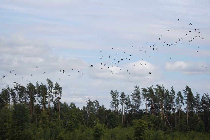 Klucz ptaków lecący nad lasem, a także wiosenne powroty ptaków do Polski, najważniejsze informacje i gatunki