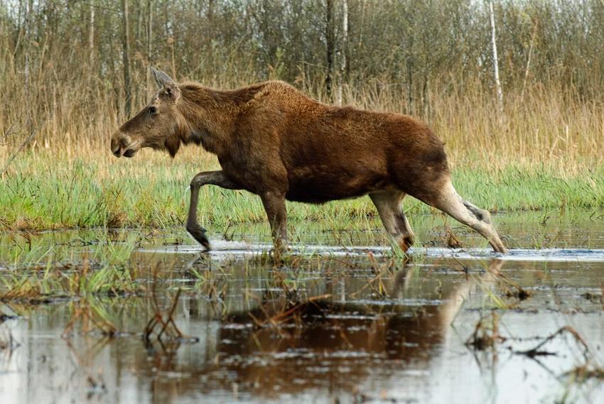 Łoś chodzący po bagnach, a także co zrobić, jak masz spotkanie z łosiem, wilkiem, zającem, sarną czy dzikiem