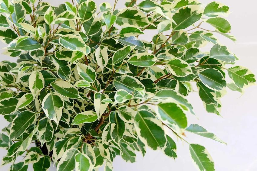 Fikus benjamina, czyli figowiec benjamina o kremowo-zielonych listkach, a także TOP 10 roślin doniczkowych i kwiatów domowych
