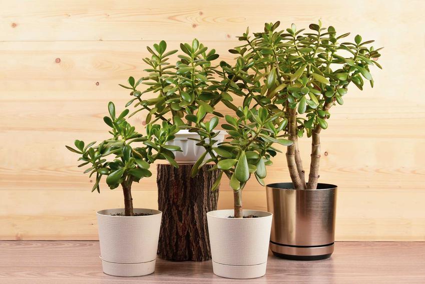 Grubosz, czyli drzewko szczęścia w kolorowych doniczkach, a także TOP 10 najpopularniejszych kwiatów domowych i roślin doniczkowych