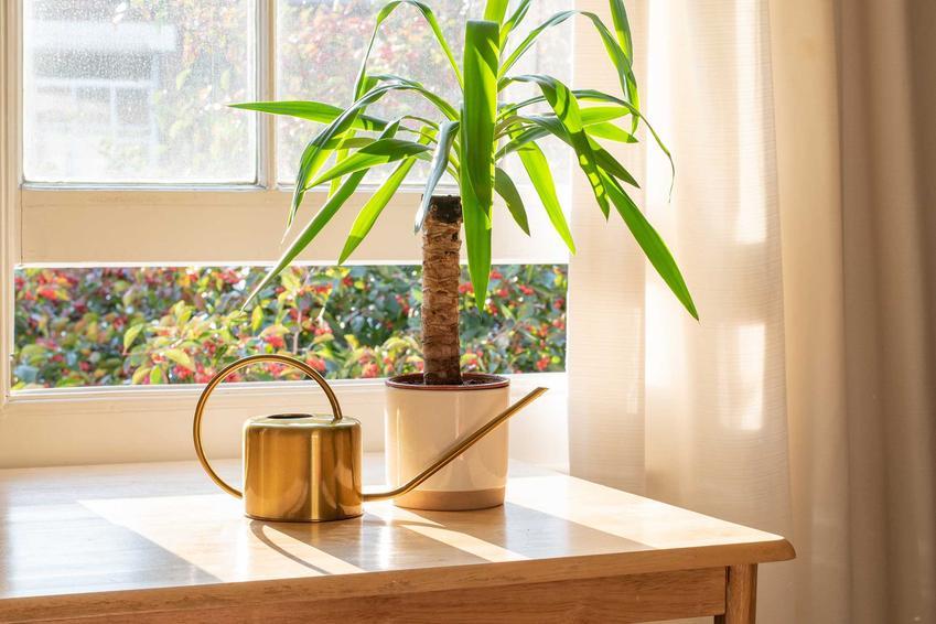 Jukka, czyli piękna roślina o długich liściach w oknie, a także TOP 10 najpiękniejszych roślin doniczkowych i kwiatów domowych