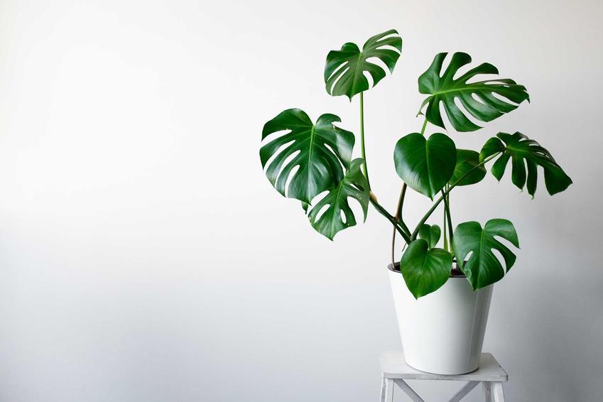 Duże liście monstery o wyraźnych dziurach, a także ciekawe rośliny domowe - TOP 10 kwiatów doniczkowych