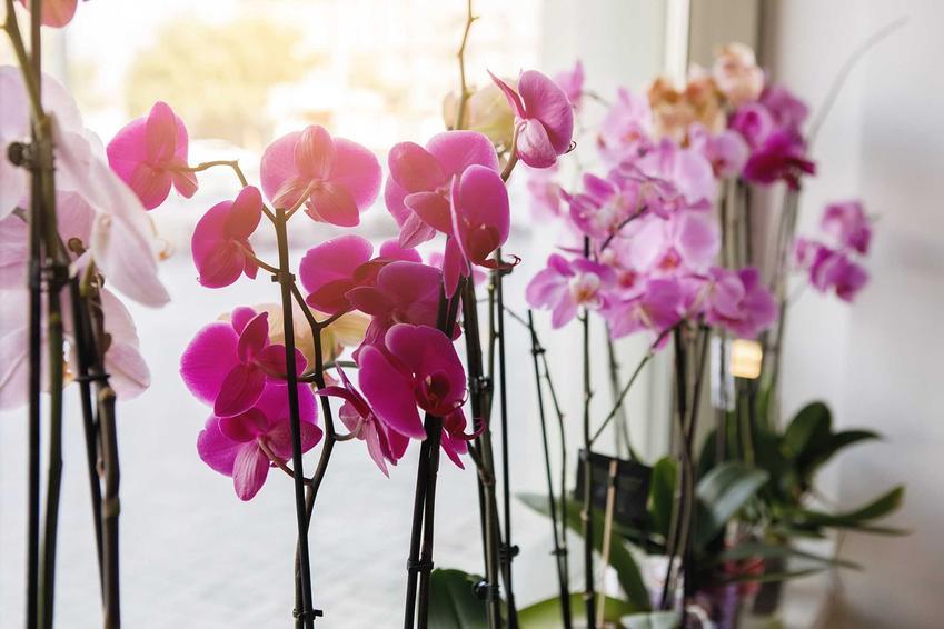 Kolorowe storczyki phalenopsis w czasie kwitnienia, a także inne z TOP 10 najpopularniejszych kwiatów domowych