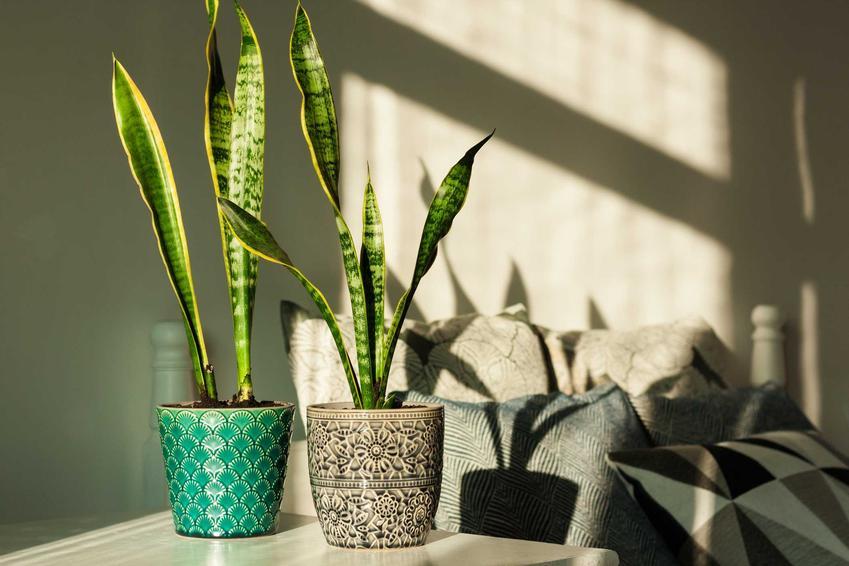 Sansewieria, czyli wężownica o długich liściach, a także najpiękniejsze kwiaty domowe - 10 najpopularniejszych gatunków