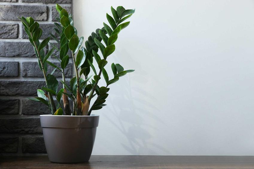Zamiokulkas zamiolistny na tle ściany, a także TOP 10 najbardziej popularnych kwiatów domowych