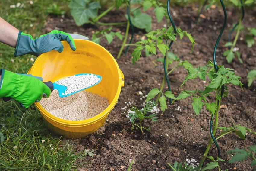 Nawóz saletrzak podsypywany pod pomidory za pomocą małej łopatki, a także opis nawozu, zastosowanie i dawkowanie