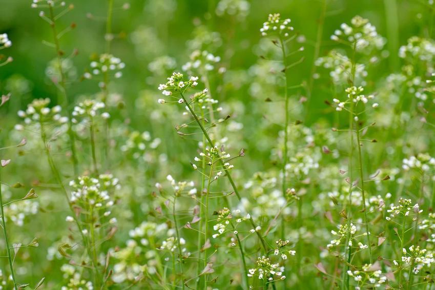 Łąka porośnięta tasznikiem pospolitym, a także opis rośliny, zastosowanie, występowanie i zwalczanie