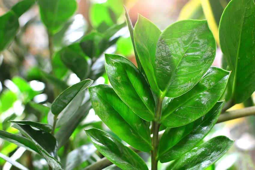 Liście zamiokulkasa zamiolistnego, czyli roślina zamia, a także charakterystyka, pielęgnacja i uprawa oraz wymagania rośliny