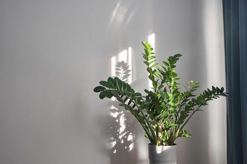 Zamiokulkas zamiolistny w doniczce na parapecie, a także roślina zamia i jej charakterystyka, wymagania i pielęgnacja