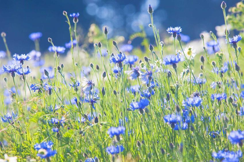 Chabry rosnące na łące, a także najpiekniejsze kwiaty polne, czyli opis gatunków, występowanie i zdjęcia