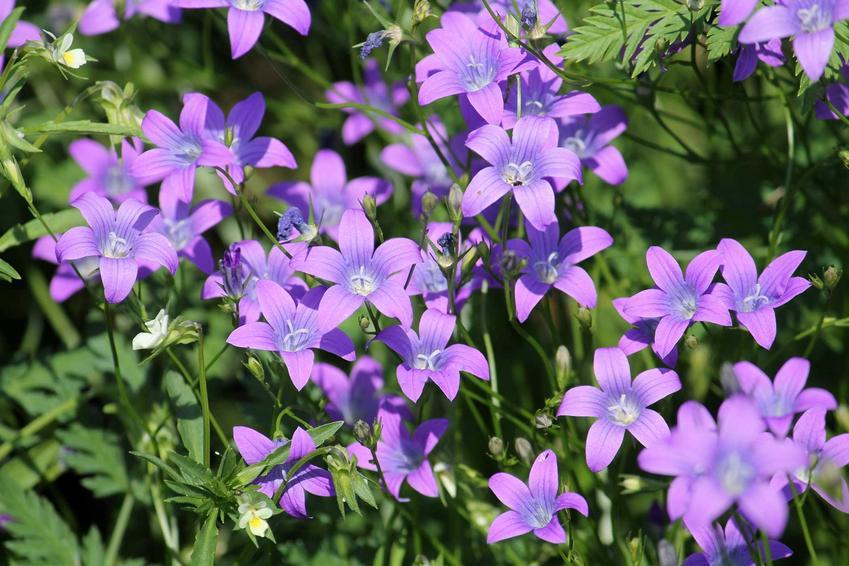 Dzwonki rozpierzchłe o fioletowych kwiatach, a także TOP 4 najpiękniejsze rośliny polne, czyli wiosenne rośliny występujące w Polsce