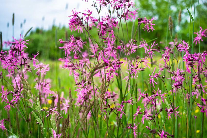Firletka o fioletowych kwiatach na łące, a także inne gatunki dziko rosnących kwiatów i najpiękniejsze kwiaty polne