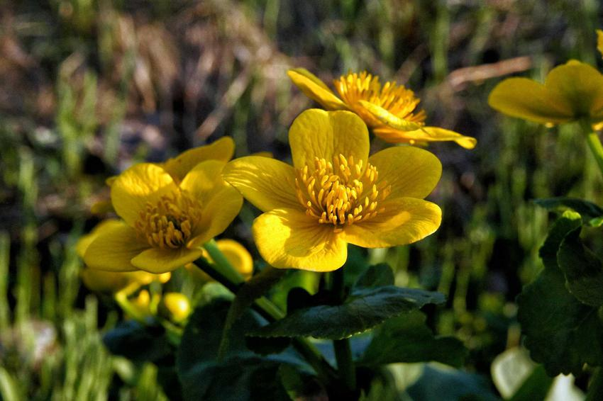 Jaskier o żółtych kwiatach w ogrodzie, a także TOP 4 rośliny polne, czyli najpiękniejsze gatunki, które rosną w ogrodzie