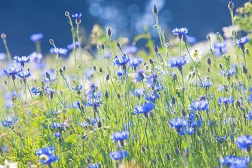 Top 4 Najpiekniejsze Kwiaty Polne Opis Wystepowanie Opinie