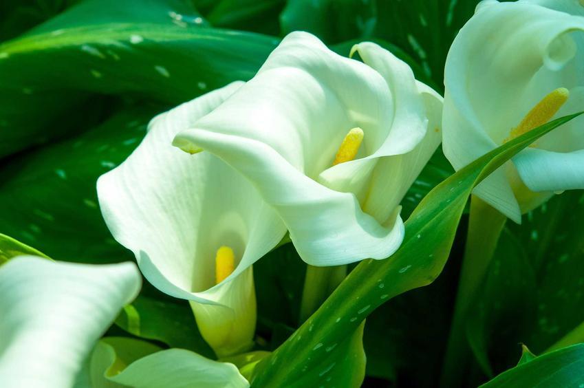 Biała calla, cantedeskia oraz opis, wymagania, pielęgnacja, uprawa, sadzenie w doniczkach