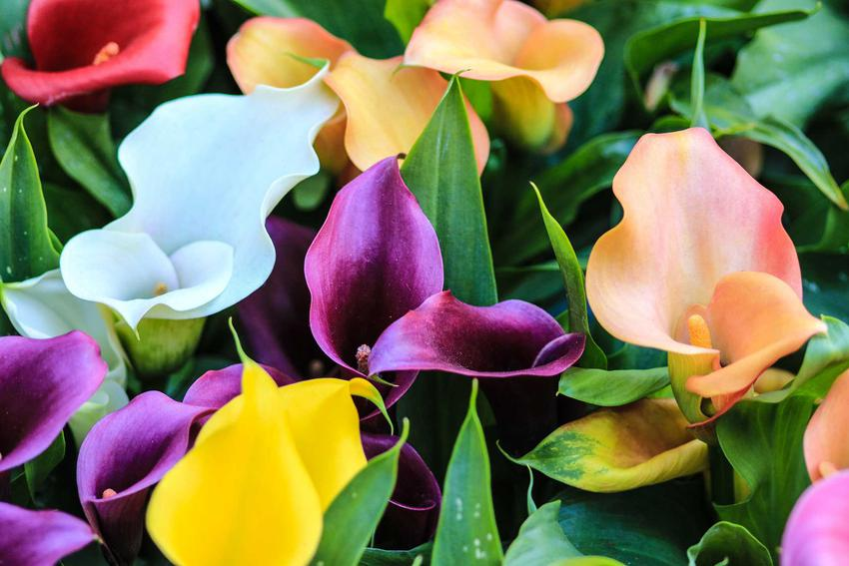 Kolorowe kwiaty calli w doniczkach, czyli cantedeskia, jej opis, a także pielęgnacja, uprawa i wymagania