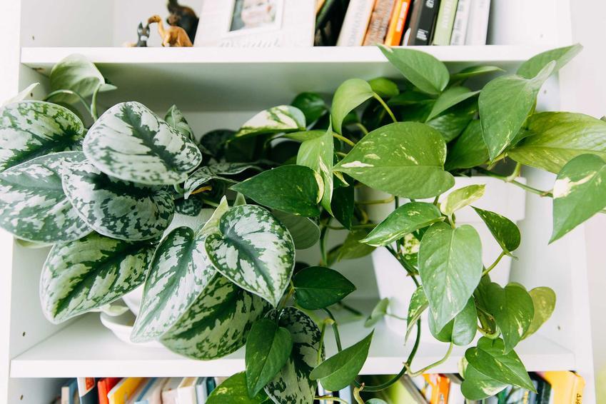 Dwie odmiany epipremnum złocistego, a także opis, wymagania, rozmnażanie, sadzenie oraz pielęgnacja