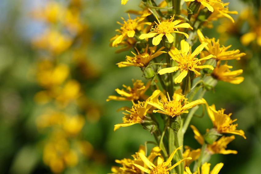 Kwiatostan języczki Przewalskiego o drobnych żółtych kwiatach, a także opis rośliny, pielęgnacja, stanowisko i uprawa w ogrodzie