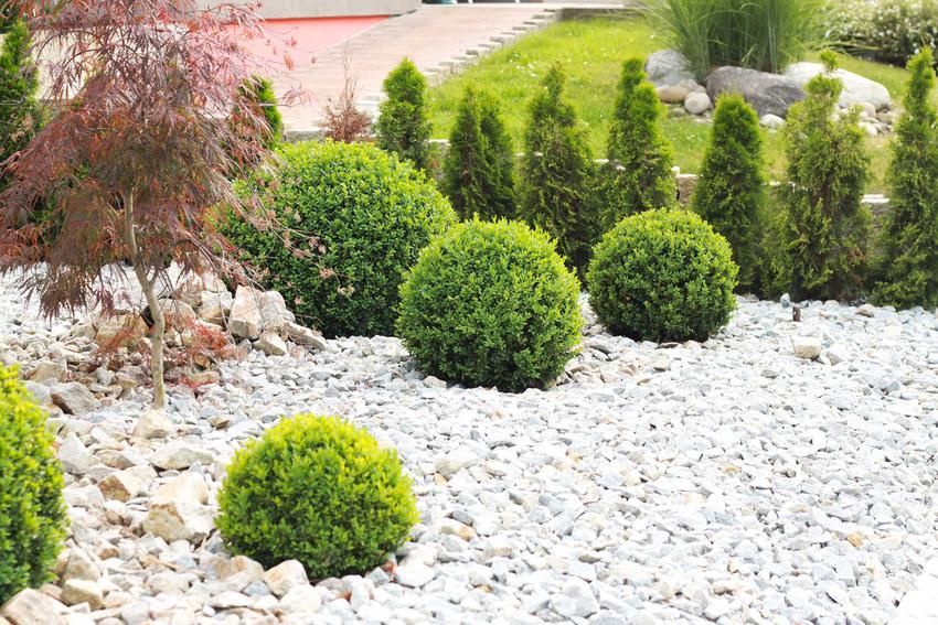 Bukszpany przycięte w kule w ogrodzie, a także TOP 10 krzewów zimozielonych do ogrodu, czyli piękne krzewy zimozielone