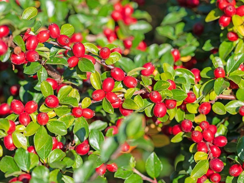 Irga jesienią w czasie owocowania na czerwono, a także TOP 10 krzewów zimozielonych do ogrodu