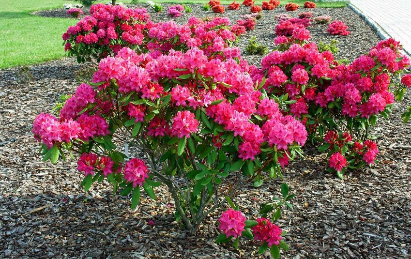 Różanecznik podczas kwitnienia o różowych kwiatach, a także TOP 10 krzewów zimozielonych idealnych do ogrodu
