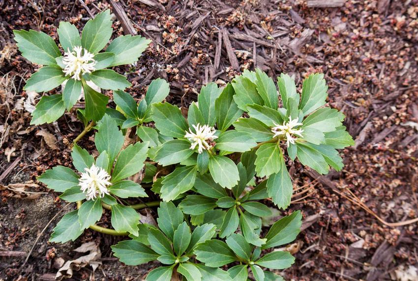 Runianka japońska na wyłożonej korą rabacie, a także TOP 10 krzewów zimozielonych do ogrodu, czyli krzewy zimozielone krok po kroku