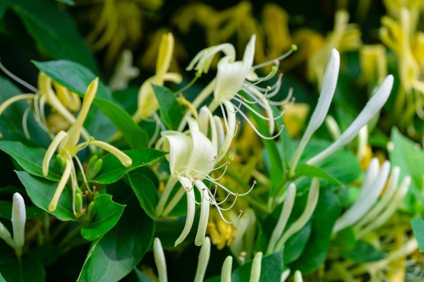 Wiciokrzew o delikatnych białych kwiatach, a także TOP 10 krzewów zimozielonych do ogrodu