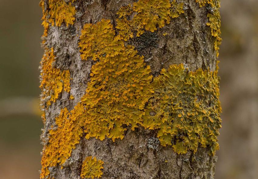 Żółty mech, porost na pniu drzewa, czyli epifity, a także ich opis, występowanie, zdjęcia i ciekawostki biologiczne
