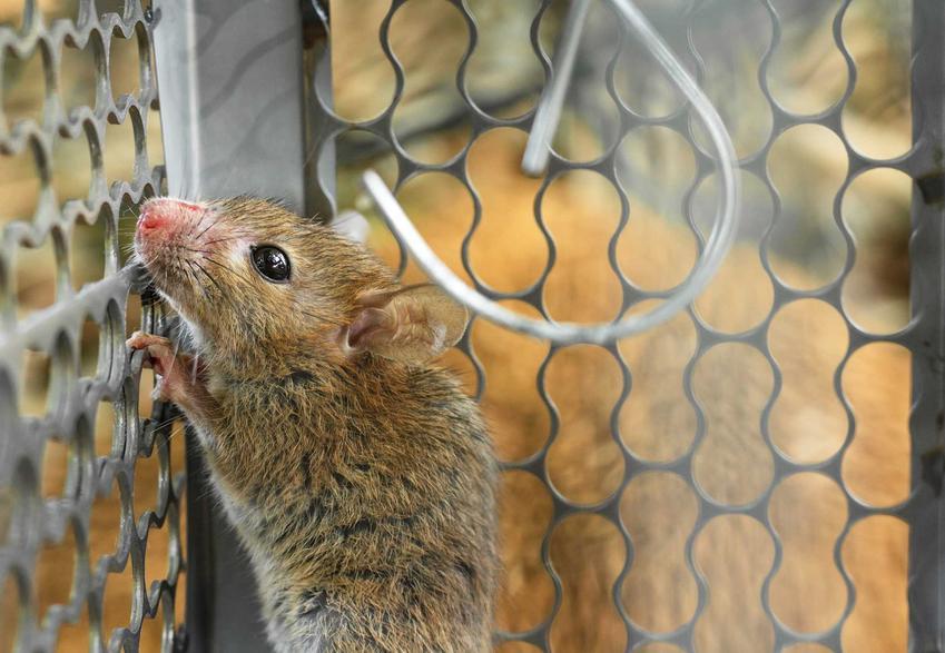 Szczur w pułapce na szczury typu żywołapka, a także opis, gotowe pułapki, ceny i zastosowanie