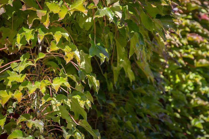 Dzikie wino, czyli winobluszcz porastający pergolę w ogrodzie, a także charakterystyka rośliny, sadzenie, pielęgnacja, uprawa oraz zdjęcia
